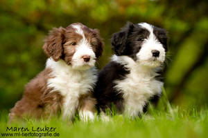 bearded collies by Maaira