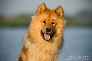 Eurasier by Maaira