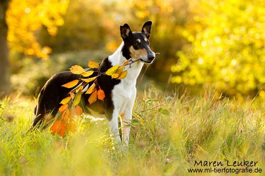 autumn collie
