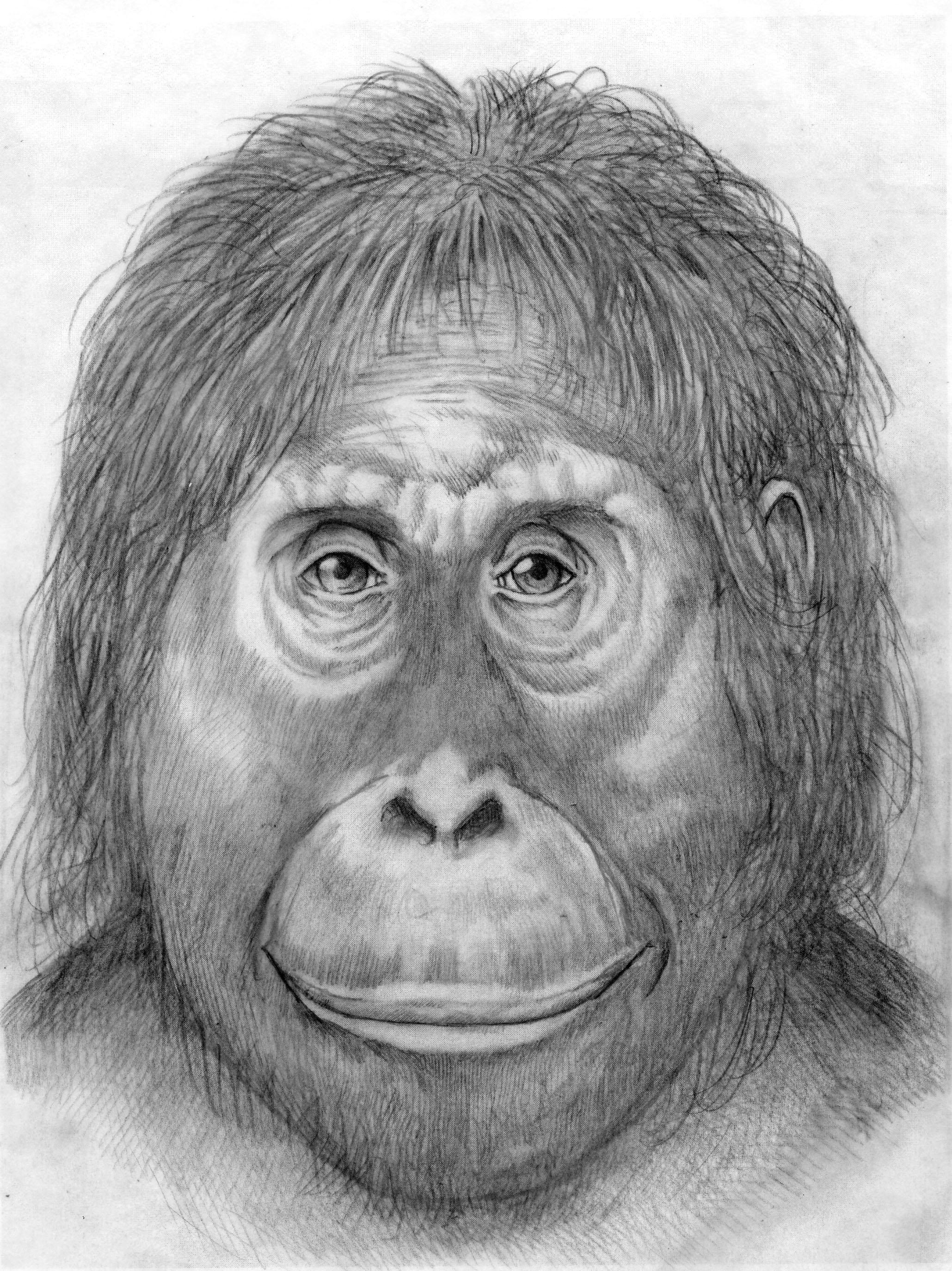Line Drawing Of Monkey Face : Orangutan lucy by parsons on deviantart