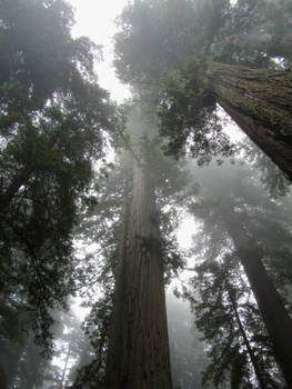 Redwood Trees In Mist
