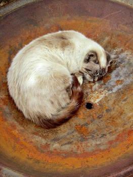 Cat in a Rusty Dish