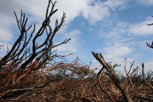burnt heather