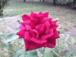 rainy on a rose