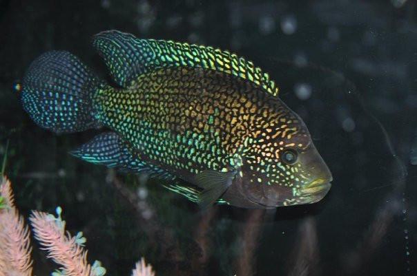Jack dempsey fish by ravynmakalani on deviantart for Jack dempsy fish