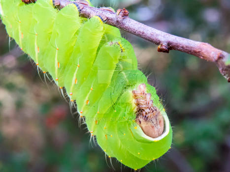 Polyphemus Moth Caterpillar 1