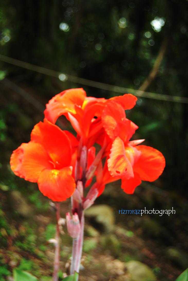red flower by rizmraz