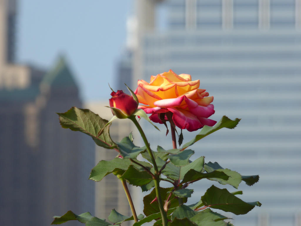 Chicago Rose by ArtByCleeland
