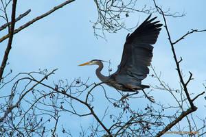Great Blue Heron by LarryGorlin