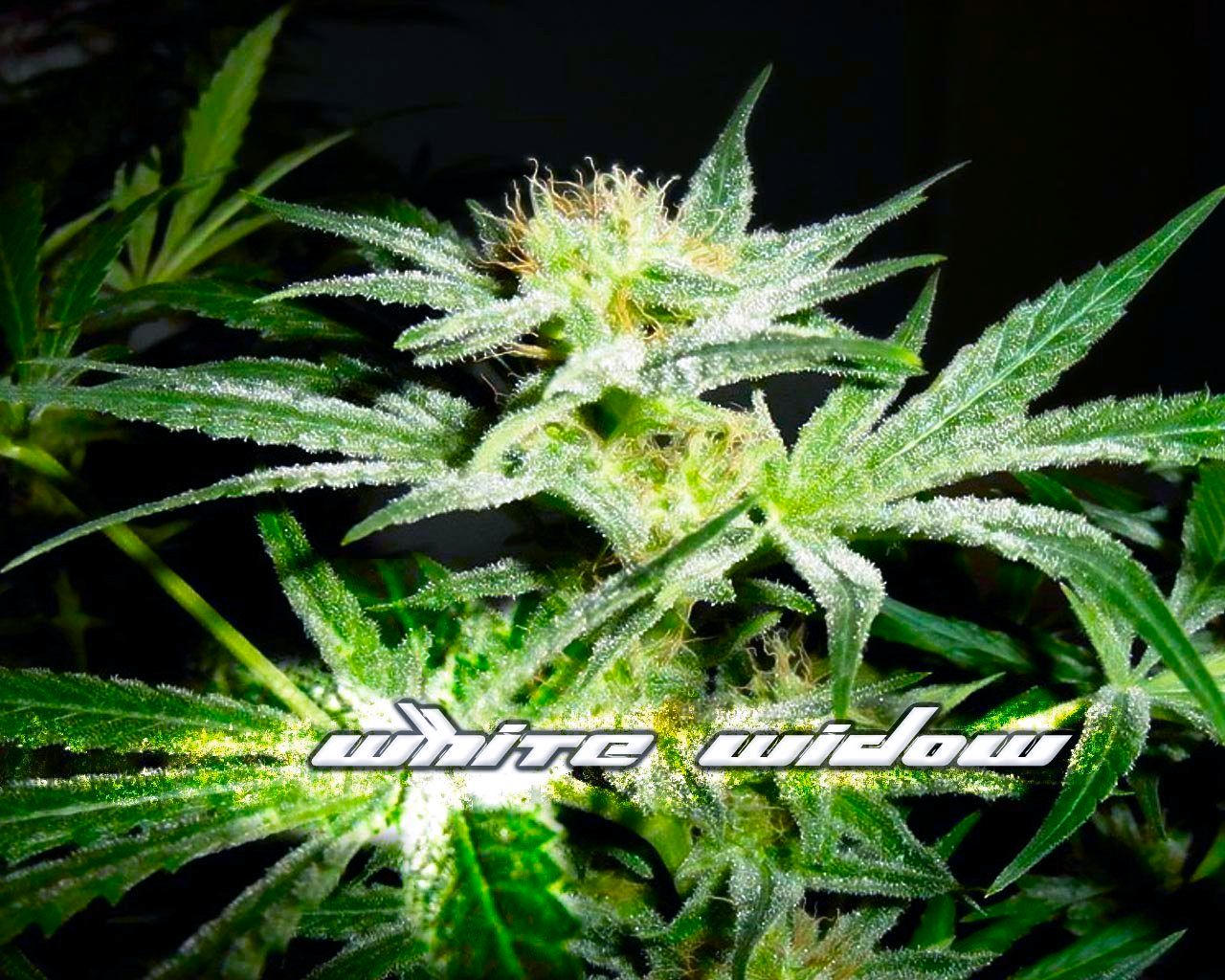 white widow weed marijuana - photo #2