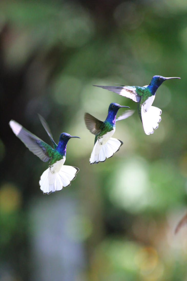 White-necked jacobin in flight by cola93