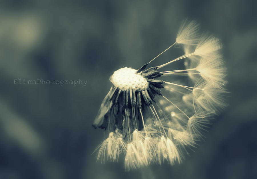 Dandelion Clock by ElinsPhotography