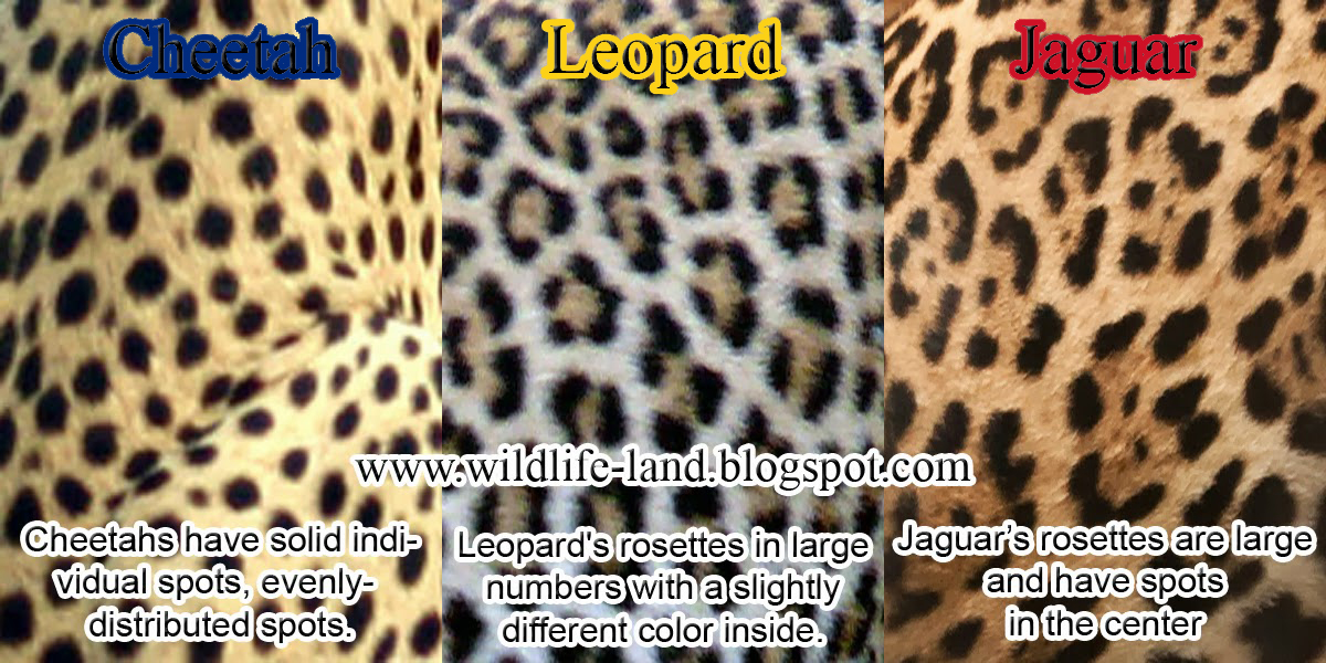 Cheetah Leopard And Jaguar Skin Differences By Madalyn86
