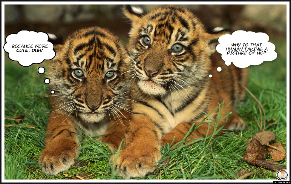 Cute Tiger Cubs Drawing Cute Siberian Tiger Cubs