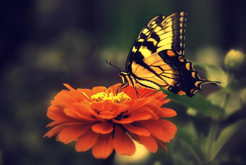 Swallowtail Flower Wallpaper / Butterfly Flower Wallpapers > Flower Wallpapers