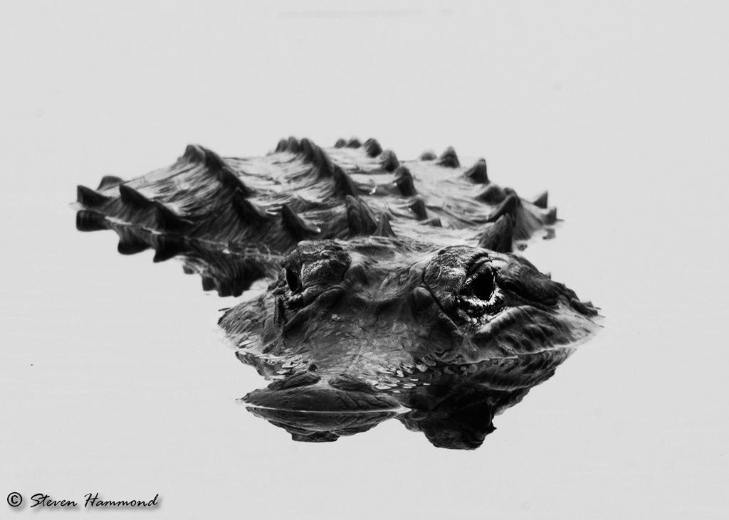 Alligator, Okefenokee Swamp by StevenHammond
