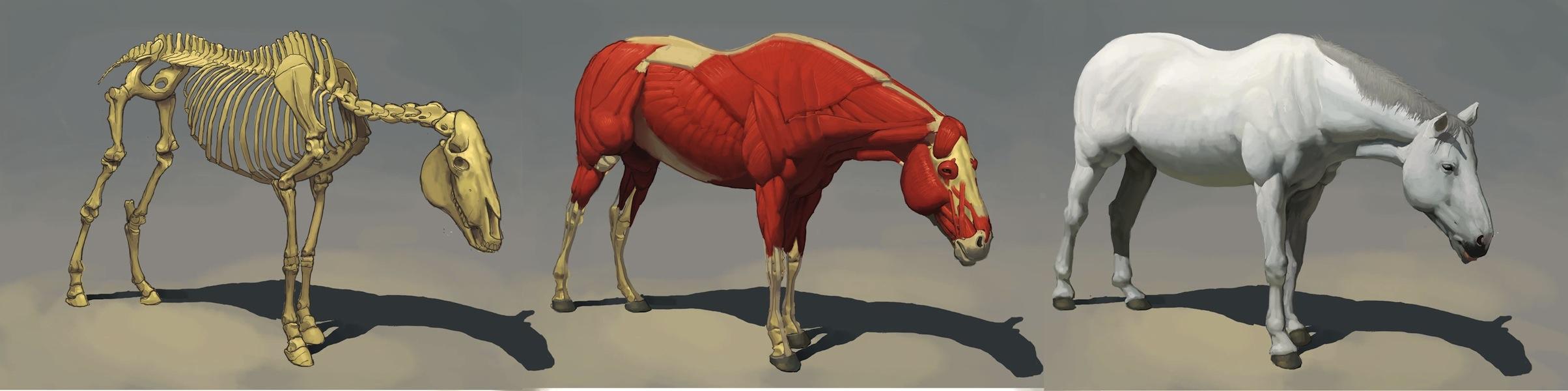 Horse anatomy by awesomeplex