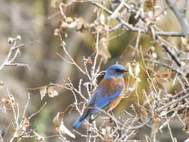 Western Bluebird by Bluecrest-Rubenaris