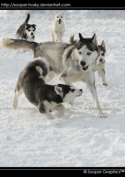 Husky Puppies 8214 by Sooper-Husky