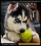 Husky Puppy 7933 by Sooper-Husky