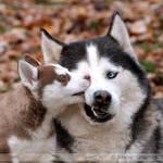 Siberian Huskies 1628 by Sooper-Husky