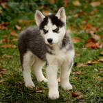 Husky Puppy 2151 by Sooper-Husky