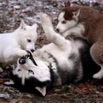 Husky Puppies 3604 by Sooper-Husky