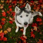 Autumn 3355 by Sooper-Husky
