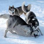 Snow Dogs 1628 by Sooper-Husky