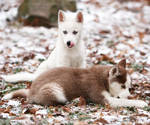 Fresh Snow 3664 by Sooper-Husky
