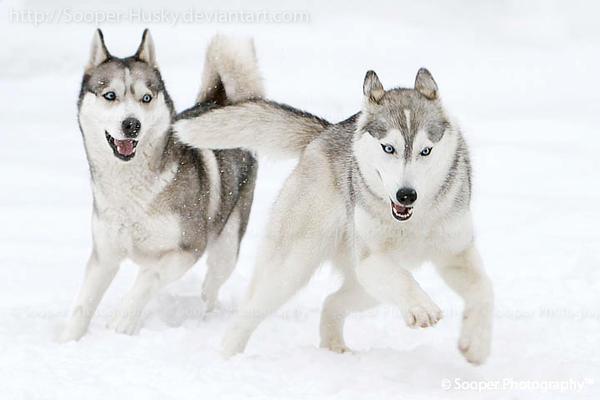 Snow Dogs 3130 by Sooper-Husky