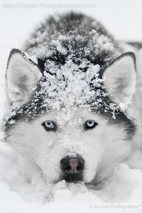 Snow Dog 7015 by Sooper-Husky