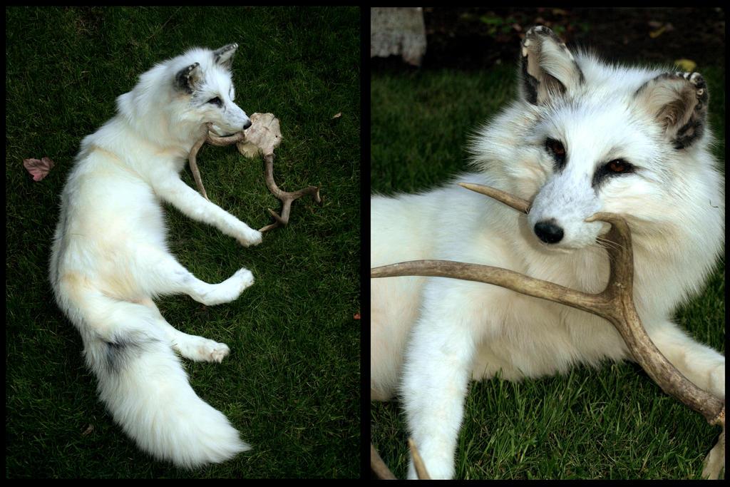 white marble fox by adarkernemisis on deviantart