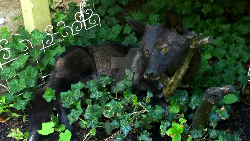 Dodger the black coyote by AdarkerNEMISIS