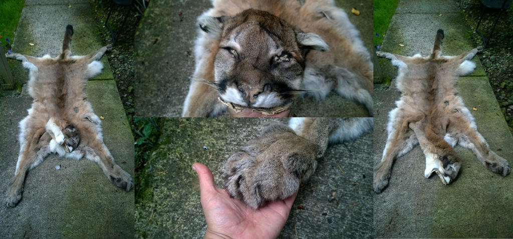 mountable Mountain Lion pelt FS by AdarkerNEMISIS