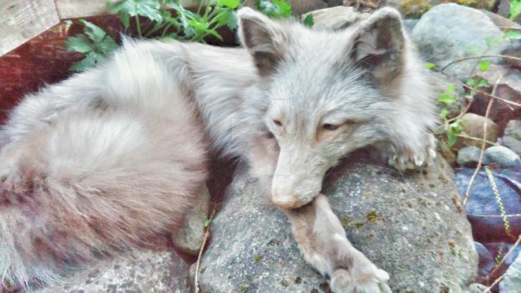 amber fox by AdarkerNEMISIS