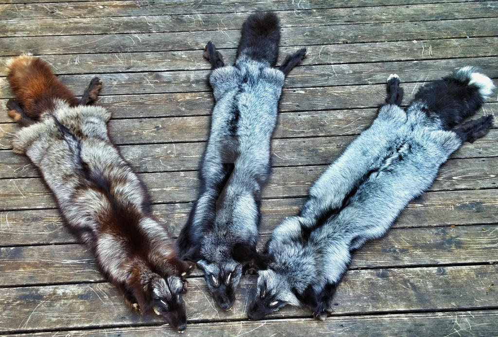 silver foxes by AdarkerNEMISIS