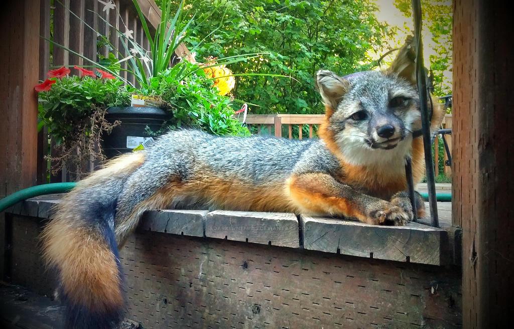 Softmount Grey Fox by AdarkerNEMISIS