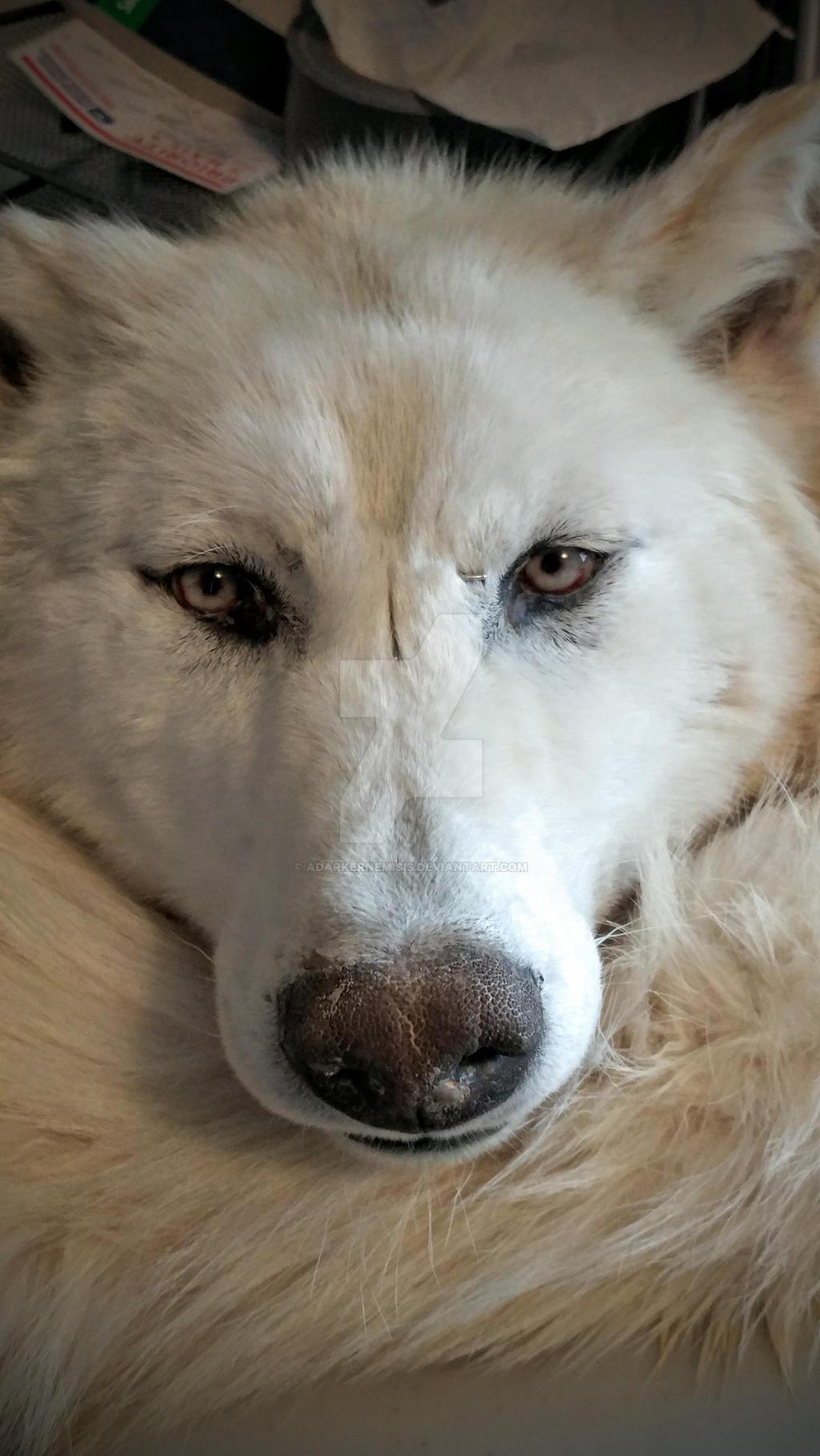 White wolf WIP by AdarkerNEMISIS