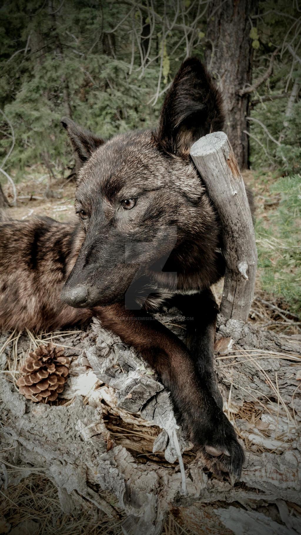 Black coyote by AdarkerNEMISIS