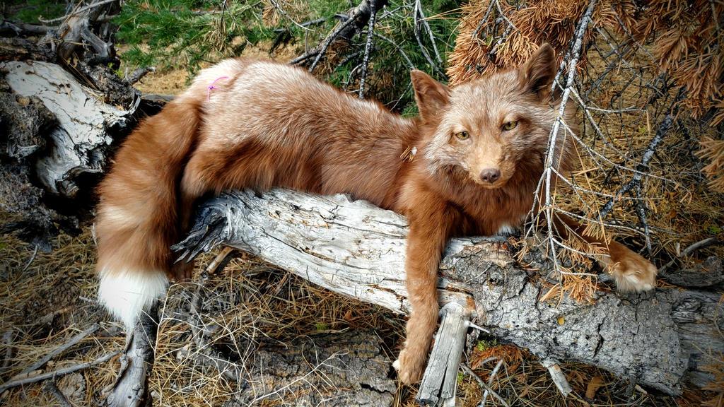 Burgundy fox softmount by AdarkerNEMISIS