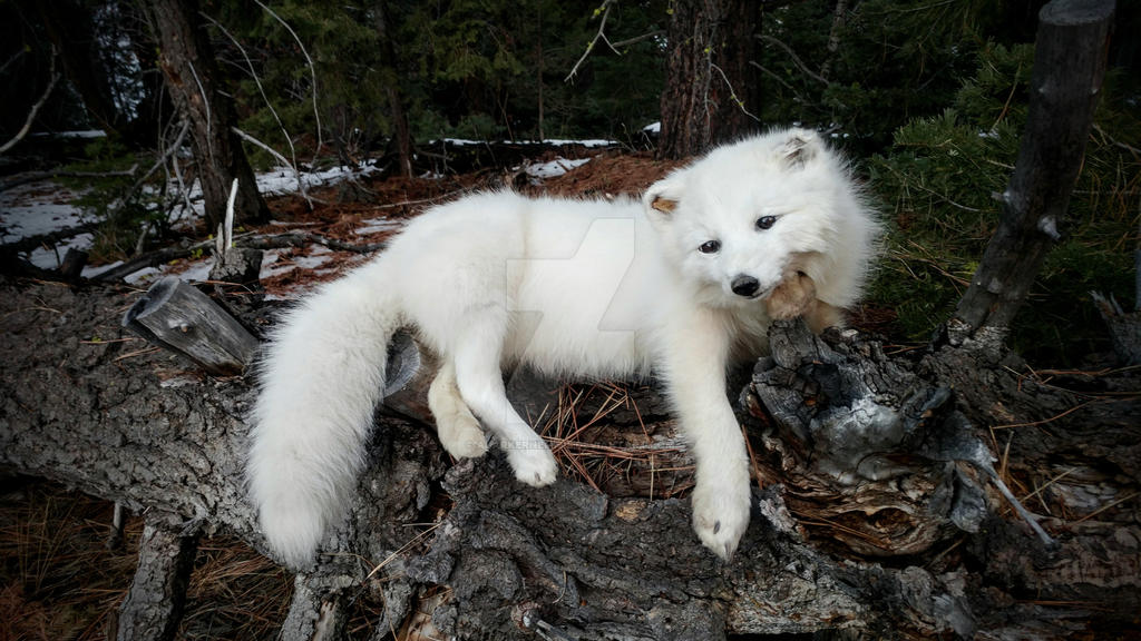 Arctic fox Softmount by AdarkerNEMISIS