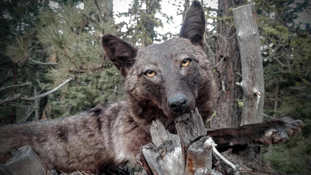 Black Coyote Softmount by AdarkerNEMISIS