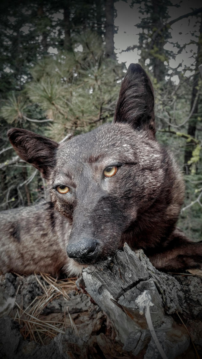 Black coyote softmount by AdarkerNEMISIS