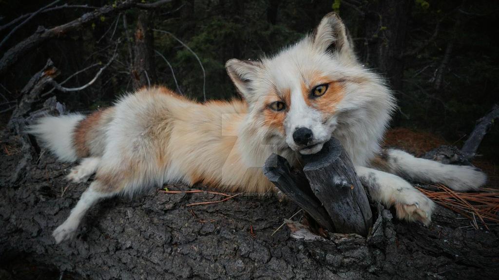 Leo Red platinum fox by AdarkerNEMISIS