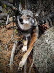 Dark Eastern Coyote