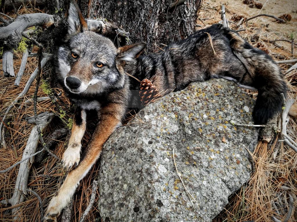 Dark Eastern Coyote by AdarkerNEMISIS