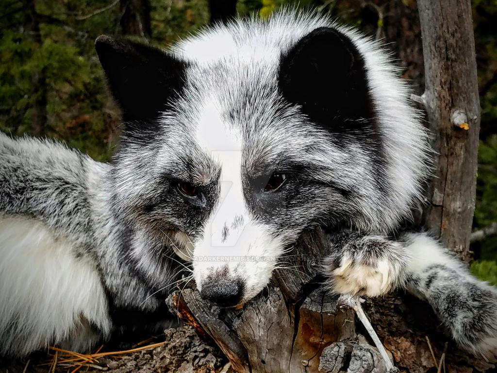 Silver White Mark Fox by AdarkerNEMISIS