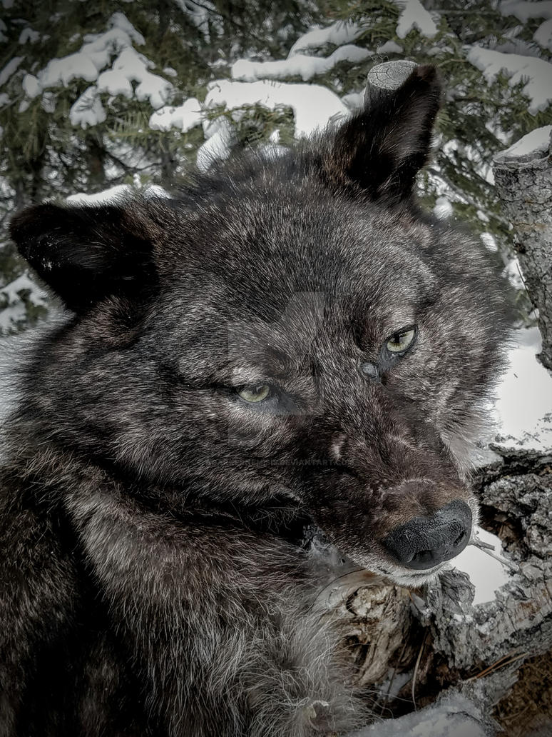 Fenris Wolf by AdarkerNEMISIS