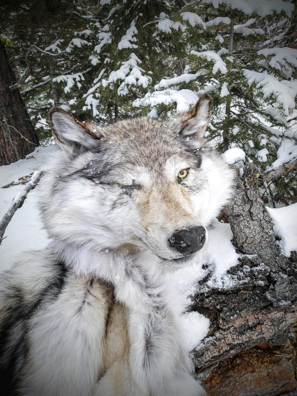 DD Wolf by AdarkerNEMISIS
